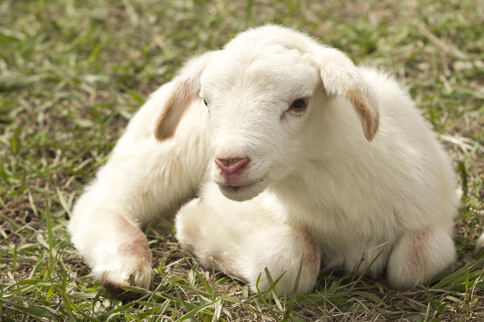 横たわる子羊
