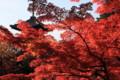 京都新聞写真コンテスト 紅葉燃える