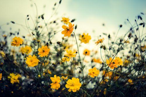 きれいな黄色いコスモス