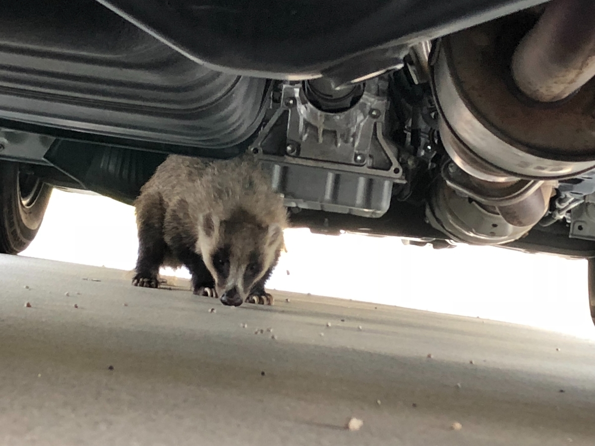 車の下に隠れるあなぐま