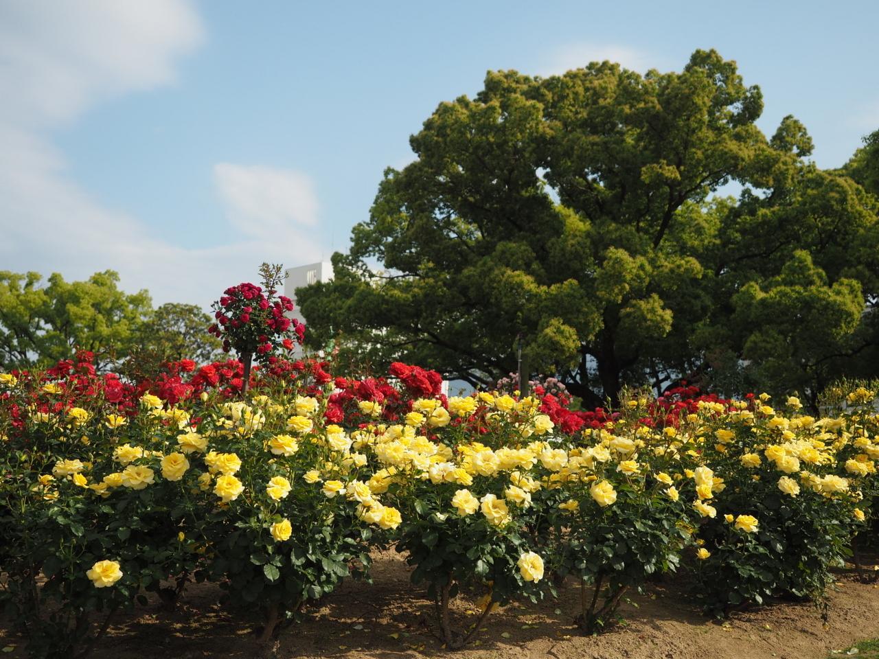 福山市花園町のばら公園