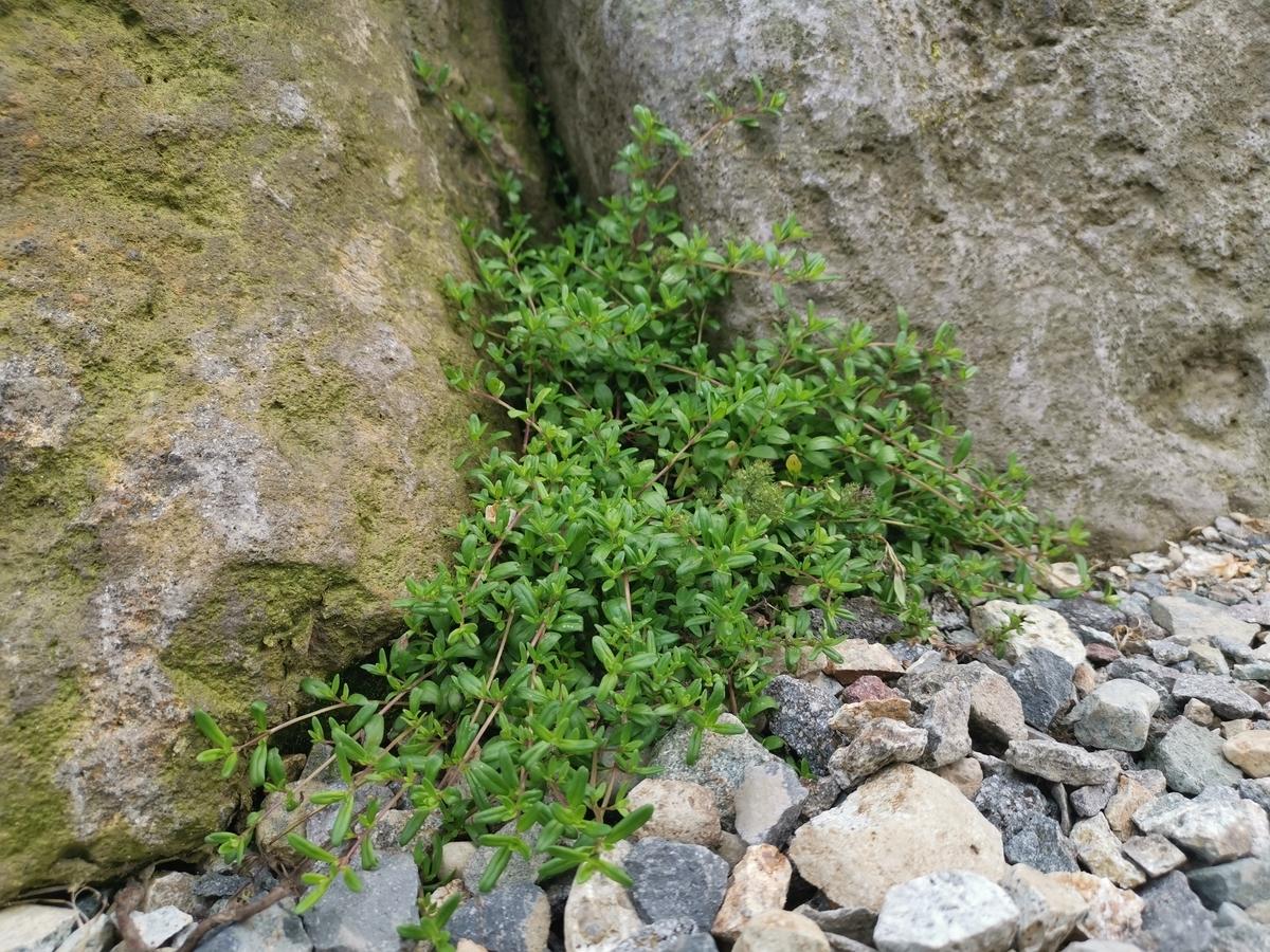 岩場に生えるクリーピングタイム