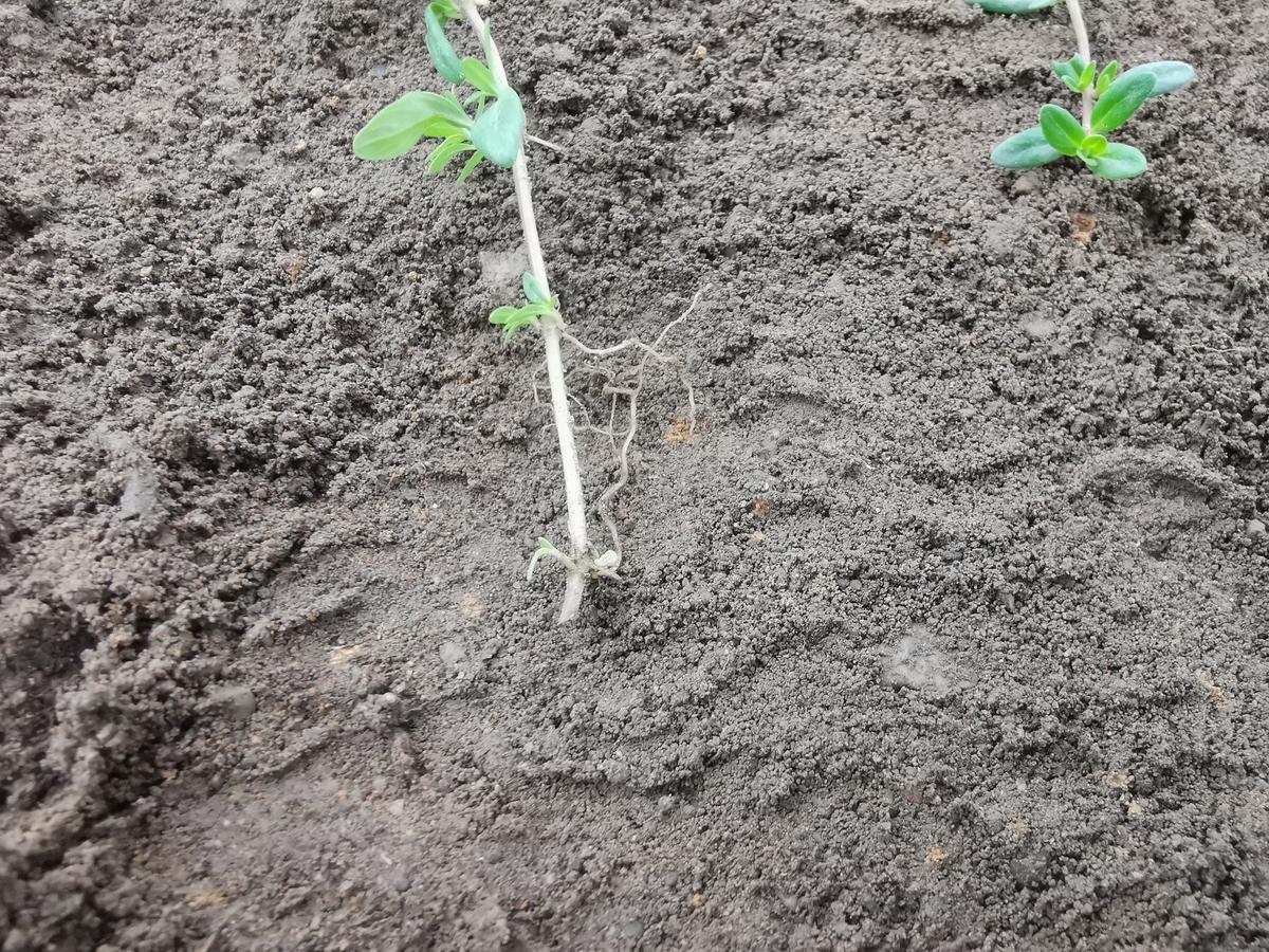 節から根を出すクリーピングタイム