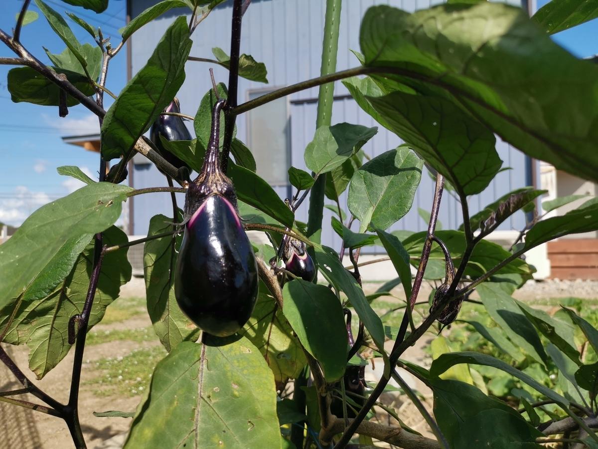 家庭菜園でできた茄子