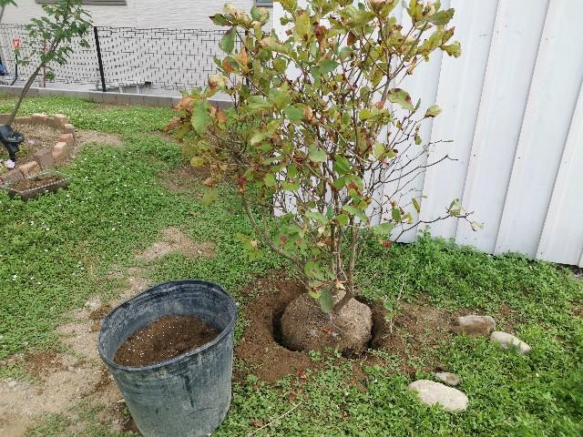 ツツジの植え替え