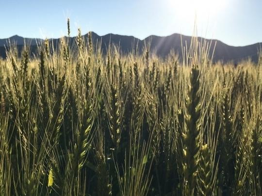 北海道の小麦