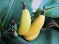 バナナ 収穫前