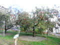 りんご並木