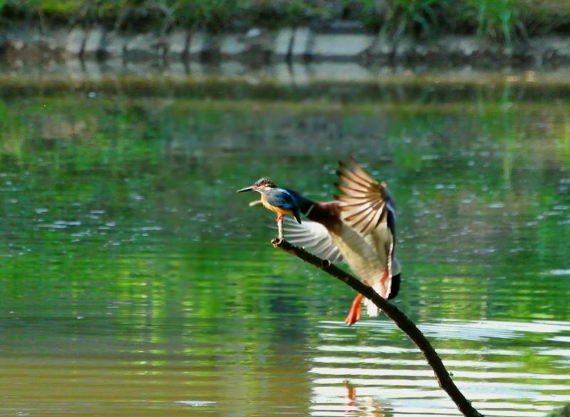 京都新聞写真コンテスト 右左、しっかり確認鳥ましょう!