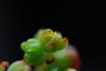多肉植物 八千代の花