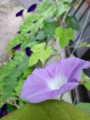 アサガオ新色開花