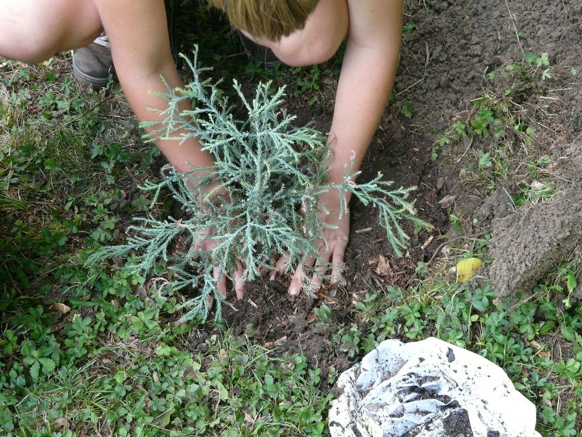 木を植えている