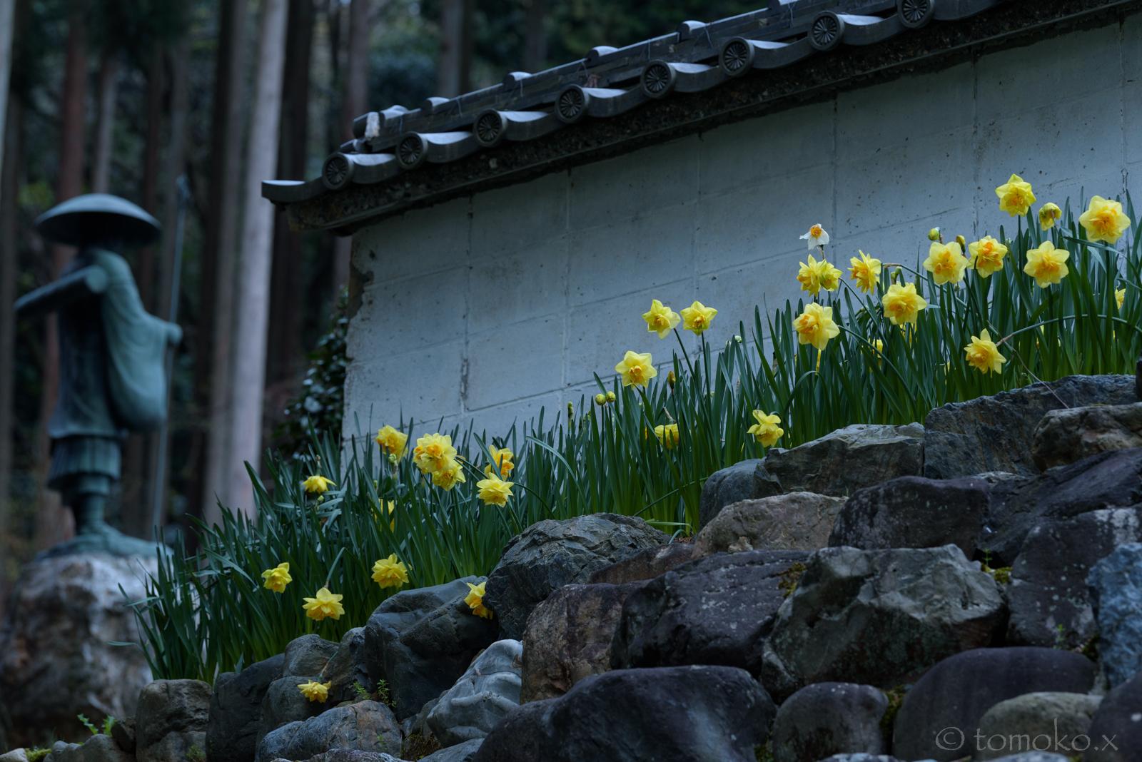 酒波寺の水仙
