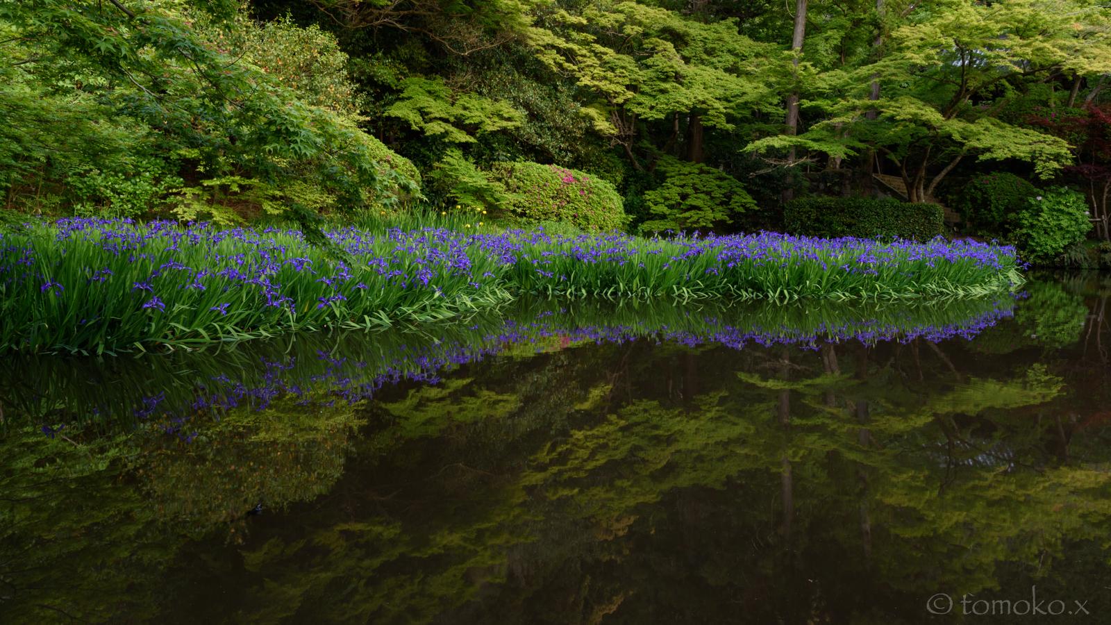 長岳寺の池の杜若と新緑
