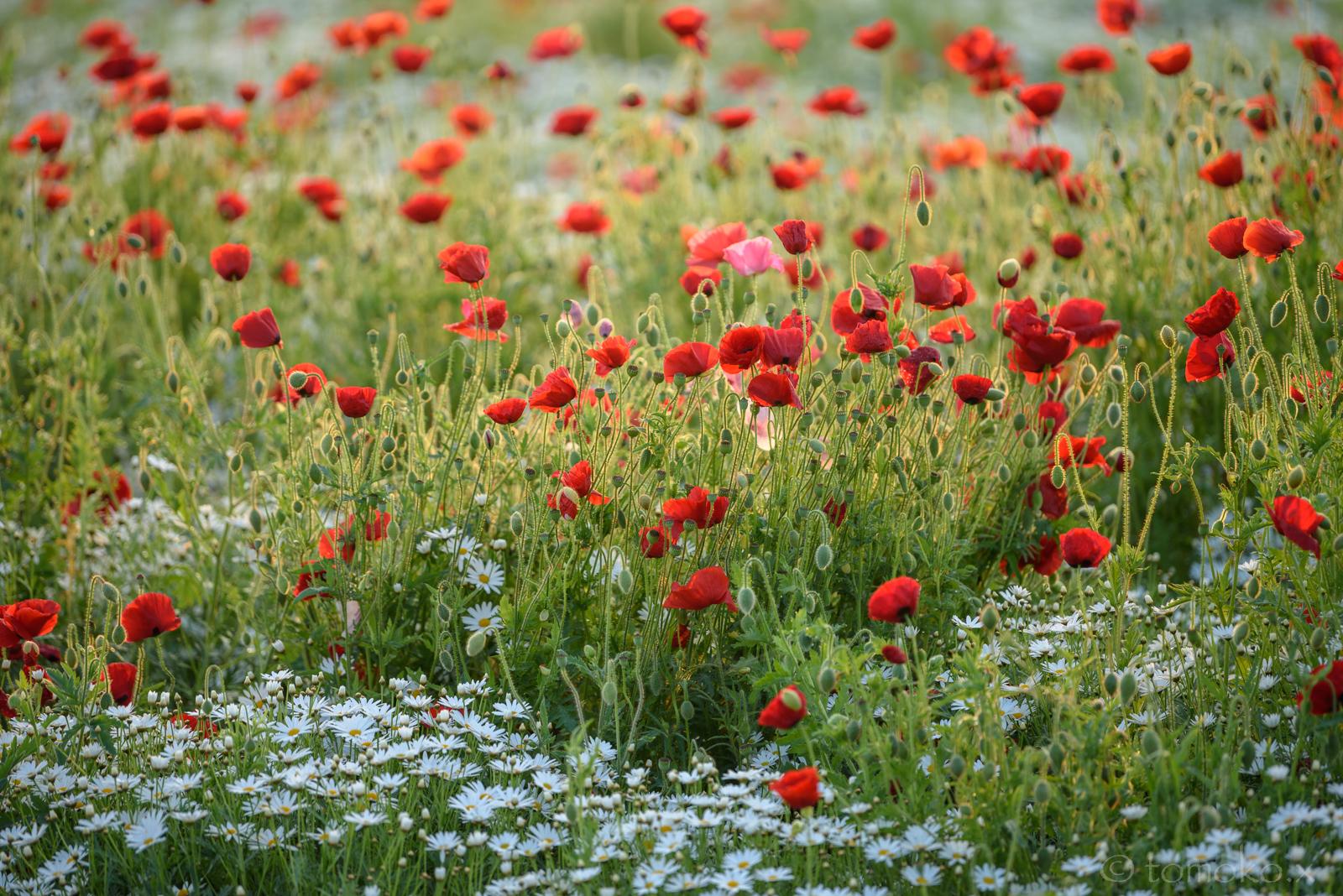 香川はフラワーパーク浦島の花畑のポピー