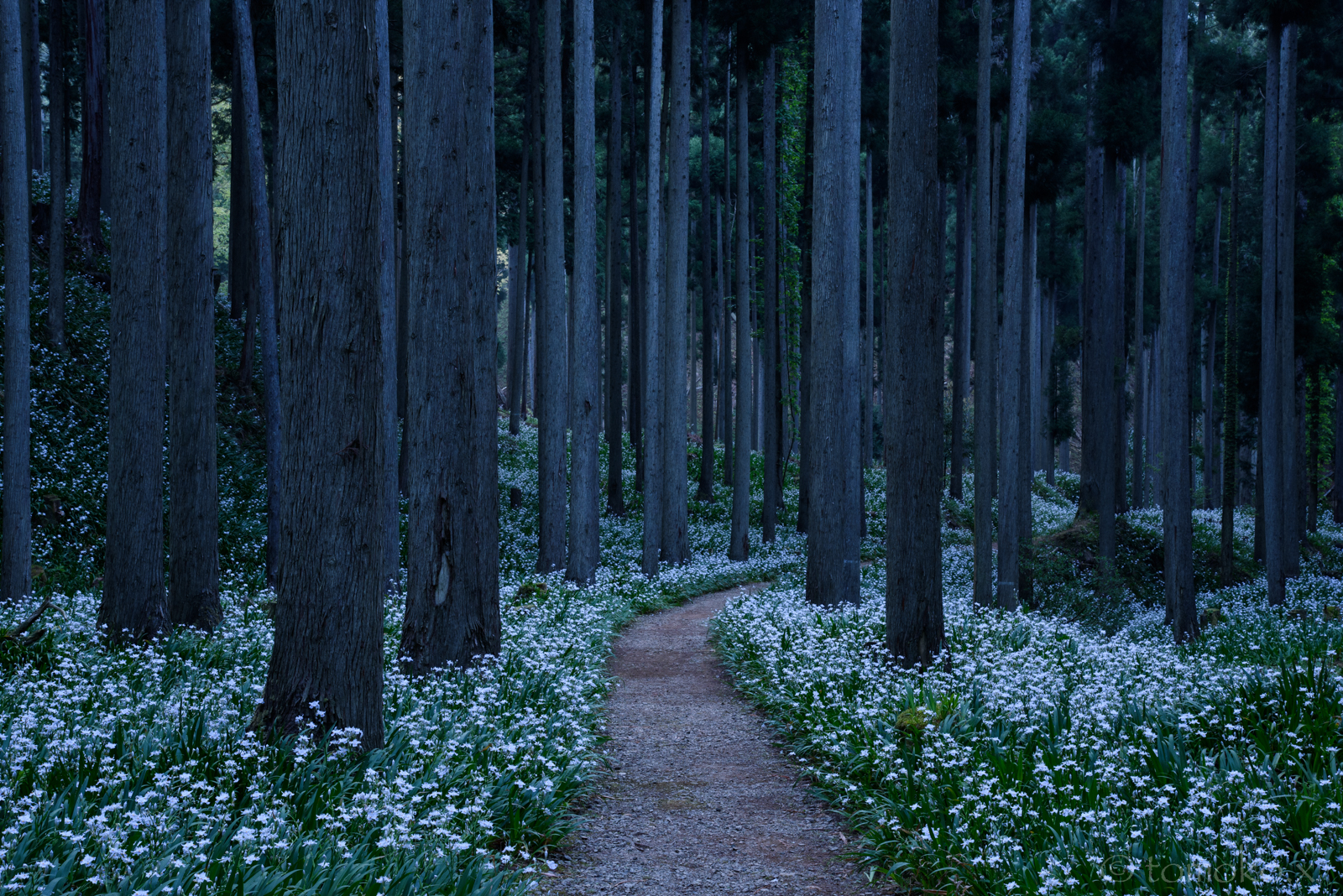 綾部はシャガの群生の森