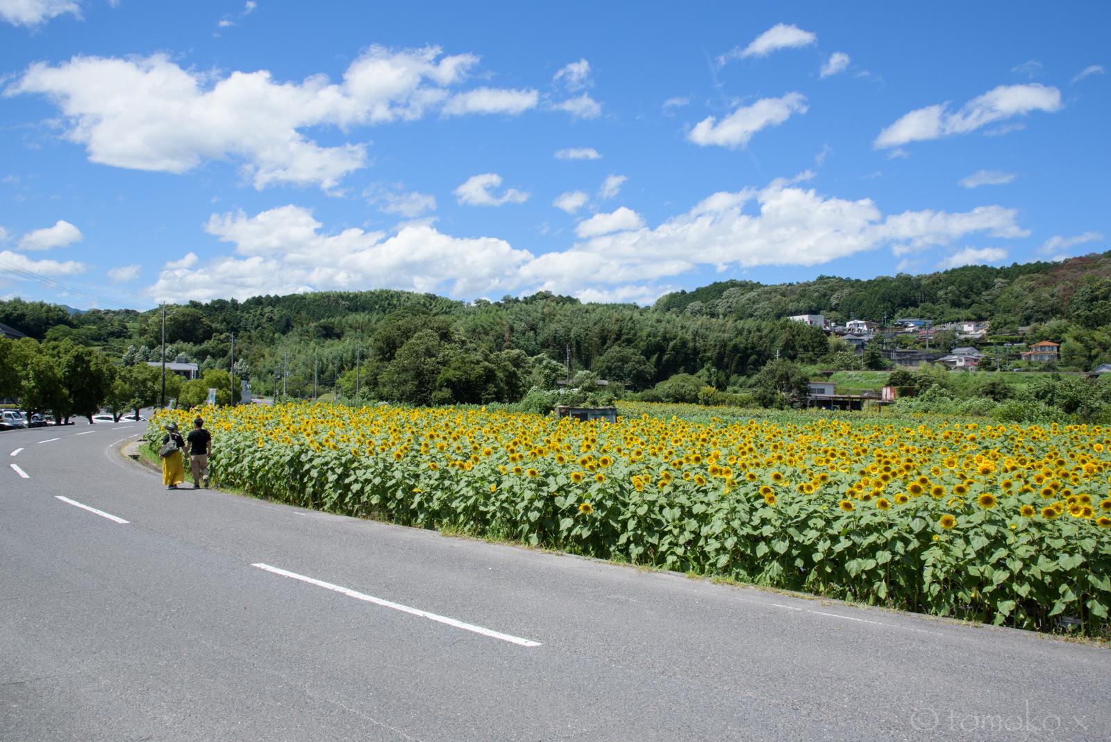 五條上野公園のひまわり畑と青空