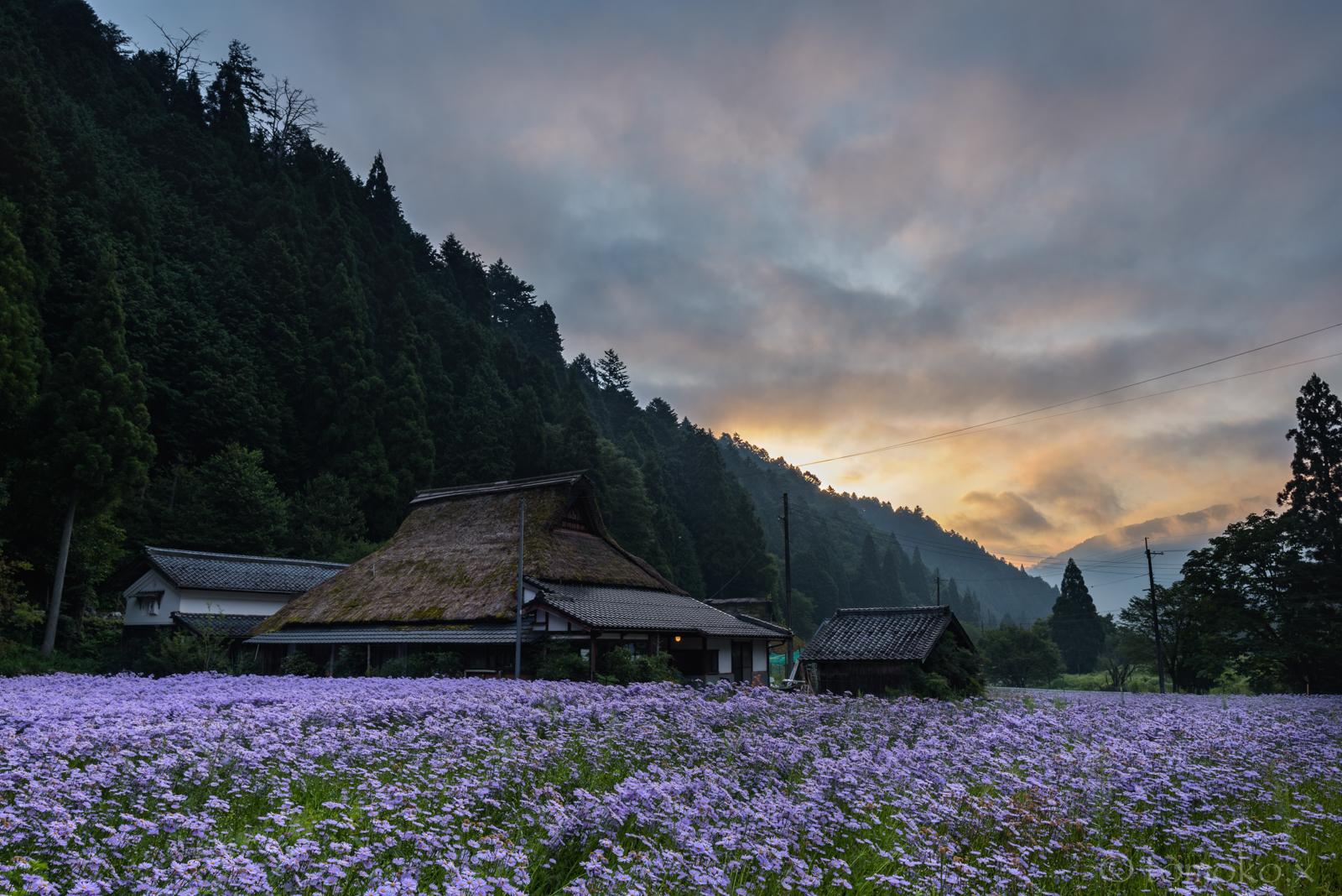久多の北山友禅菊と茅葺き屋根の朝