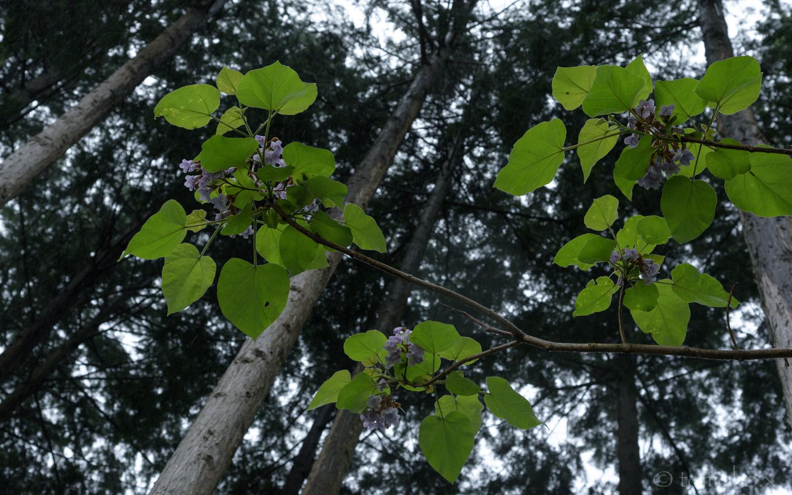 桐の花と新緑
