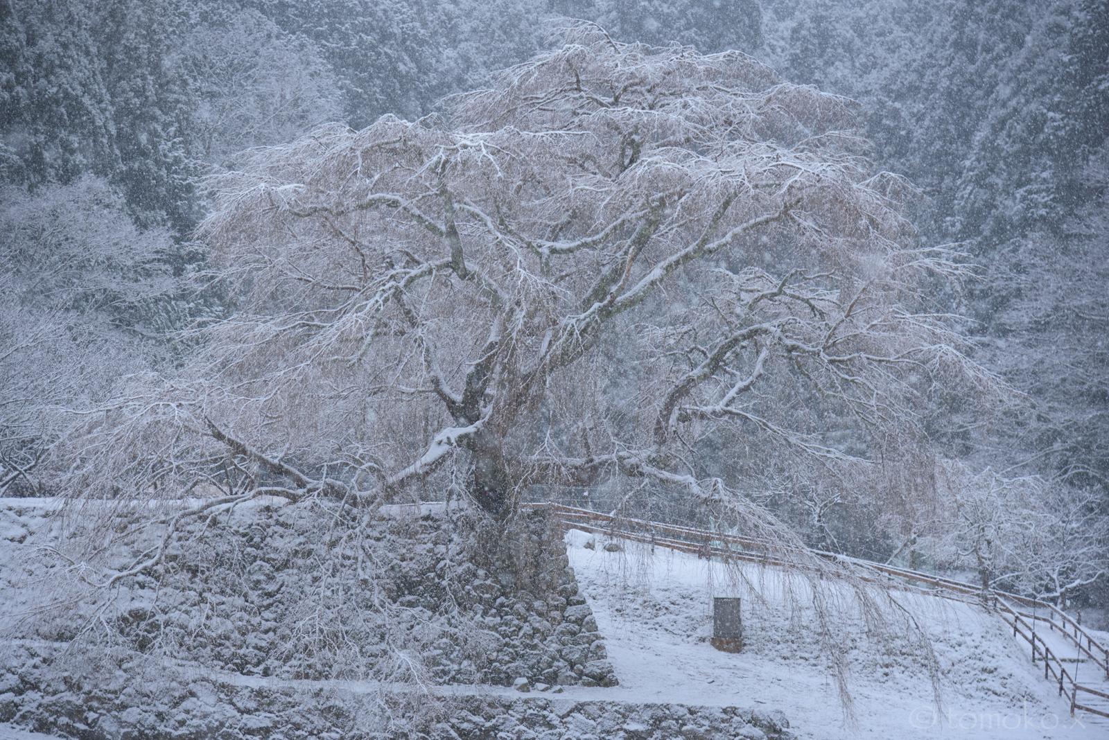 雪の又兵衛桜