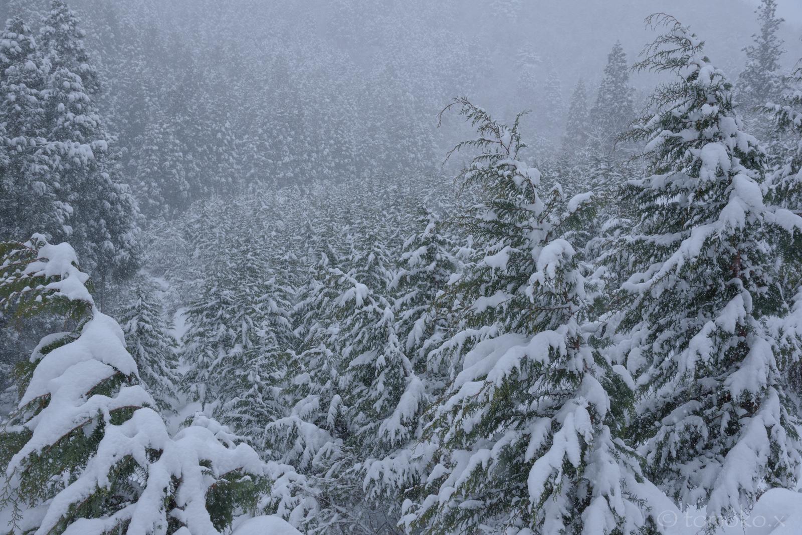 杉の若木に積もる雪