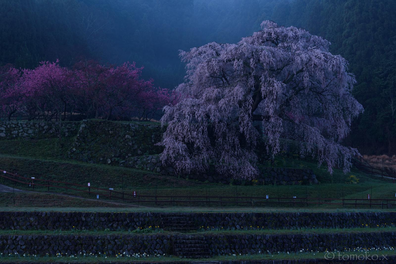 ブルアワーの満開の又兵衛桜
