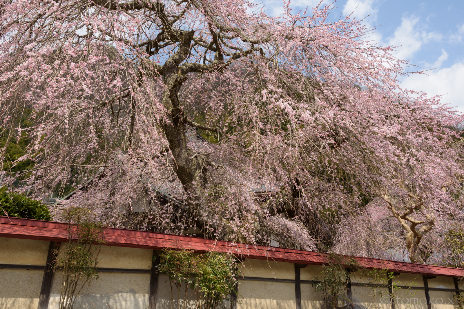 しだれ桜と赤い塀