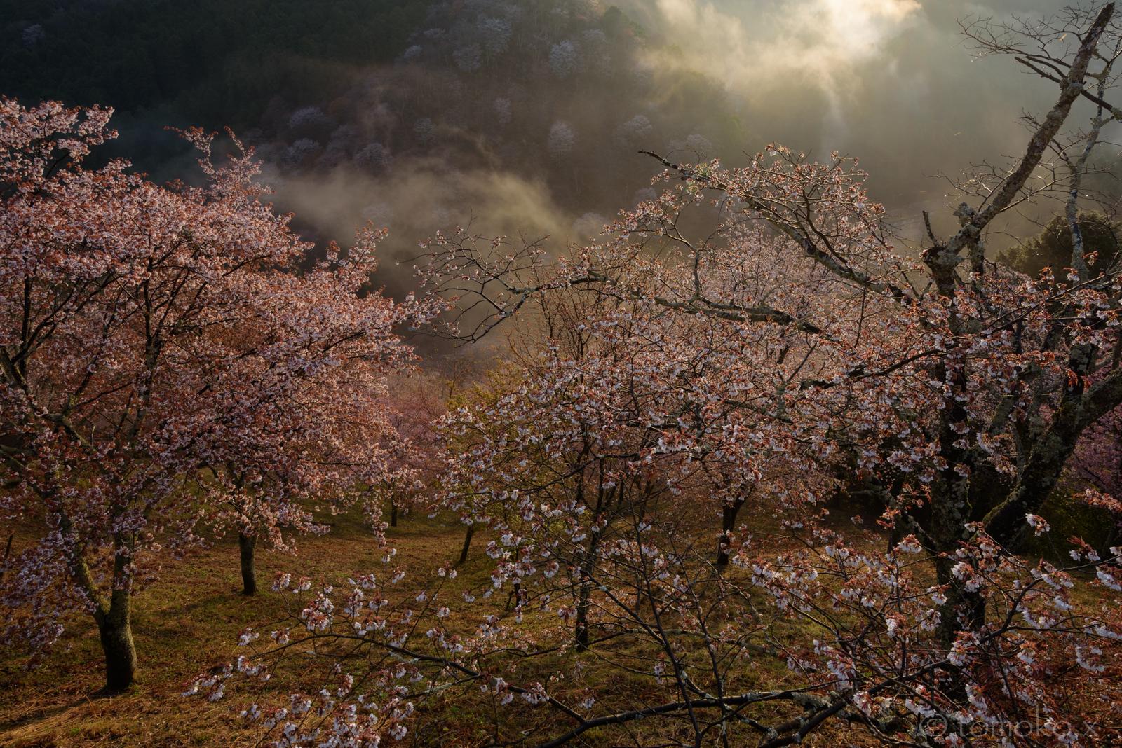 朝日と霧の吉野山の下千本桜