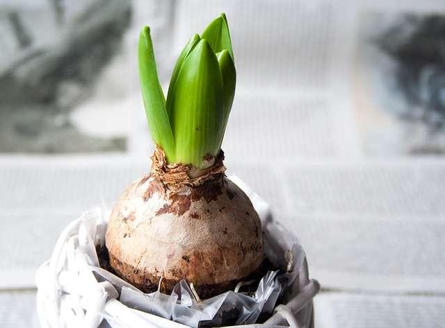 ヒヤシンスの水耕栽培(水栽培)の育て方