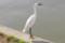 水元公園の白鷺