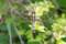 シオカラトンボ@小石川植物園
