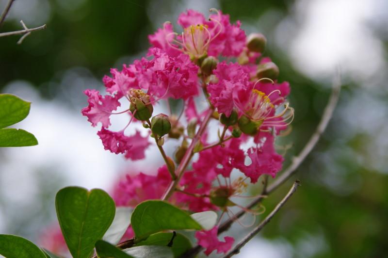サルスベリの花@小石川植物園