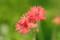 センノウの花@小石川植物園
