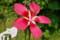 モミジアオイの花@小石川植物園