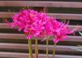 [花][花写真][向島百花園]