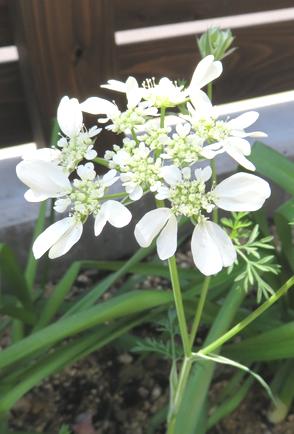 """オルラヤオルレアの花"""""""