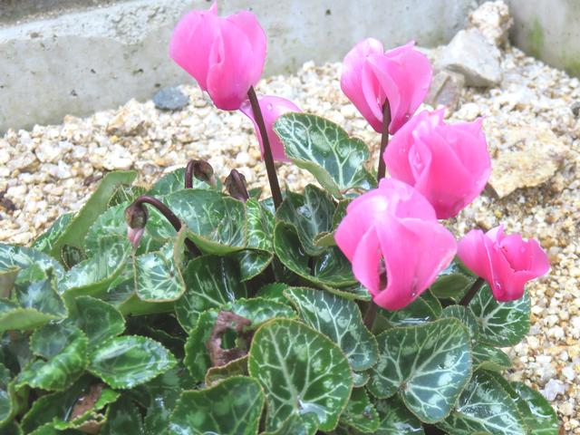 夏に咲くシクラメン