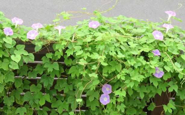 薄紫色のアサガオ