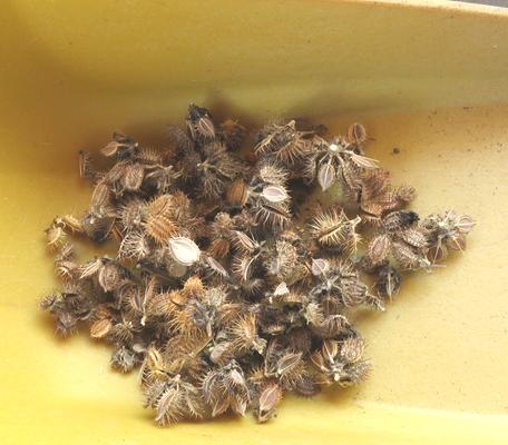 オルラヤオルレアの種