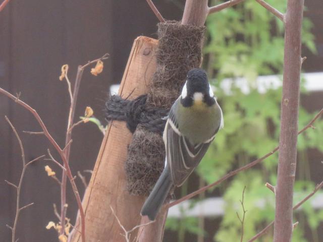 庭木にとまる野鳥