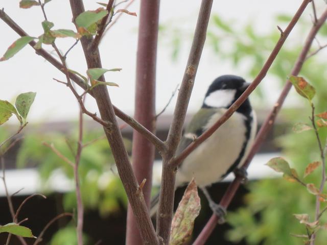 枝越しに写した野鳥
