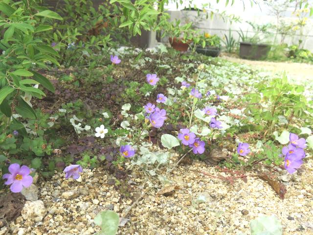 バコパの花紫と白