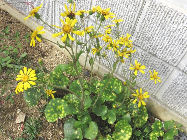 黄色いツワブキの花
