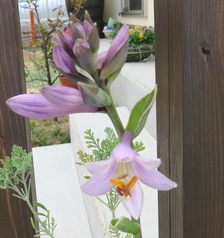 ギボウシ・ホスタの花