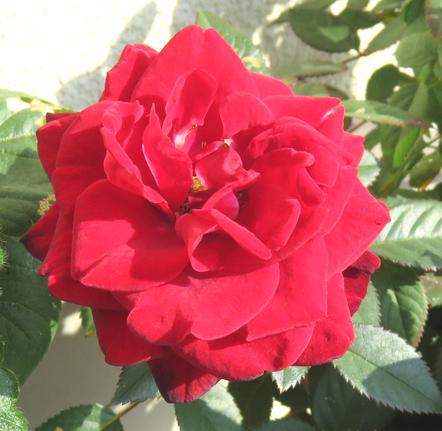 バラの花のアップ