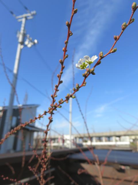 二つだけ咲いたユキヤナギの花
