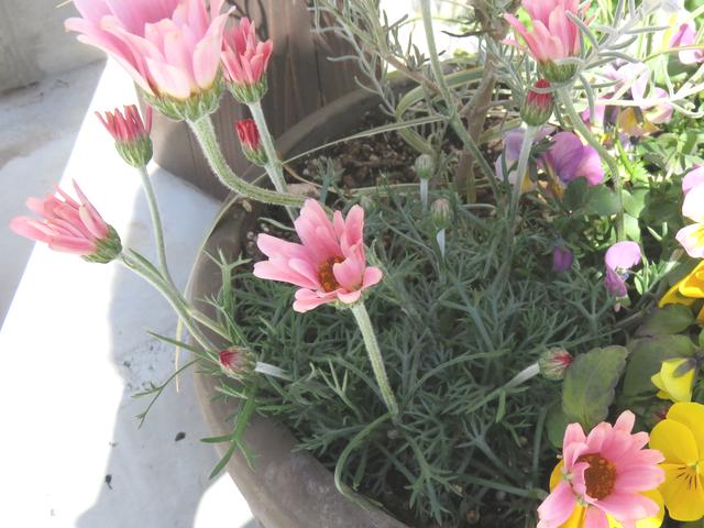 ローダンセマムアプリコットの花