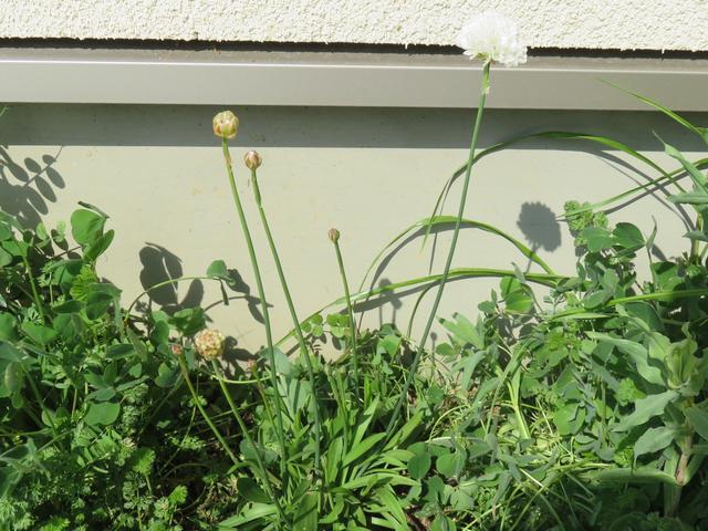 アルメリア白花