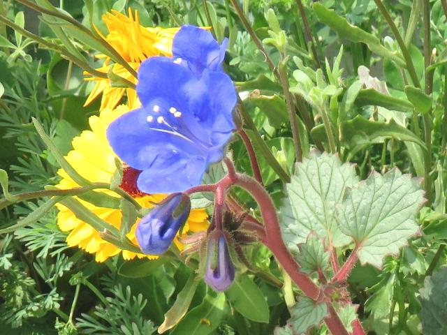 ファセリア・カンパヌラリアの花n