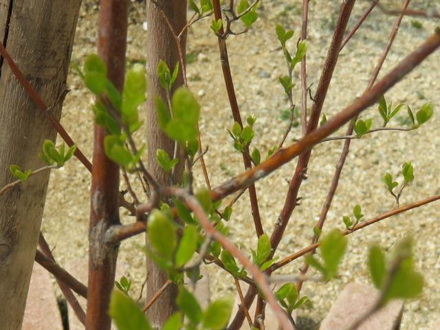 エゴノキの若葉